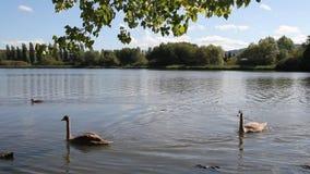 Vídeo: Lago tranquilo con cruzar de muchos patos y de los cisnes almacen de metraje de vídeo