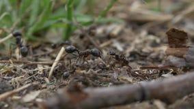 Vídeo macro das formigas video estoque