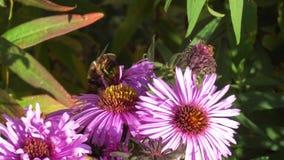 V?deo macro de uma abelha que recolhe o p?len em uma flor vídeos de arquivo