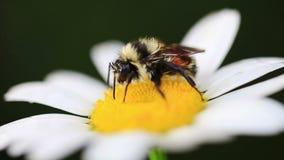 Vídeo macro de una abeja en Daisy Flower almacen de metraje de vídeo