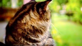 Vídeo macro del gato de Maine Coon con el movimiento y almacen de metraje de vídeo