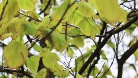 Vídeo nas folhas de outono da exibição do movimento lento no vento video estoque