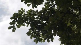 Vídeo 1080p - coroas das árvores com o sol e raios brilhantes da tarde video estoque