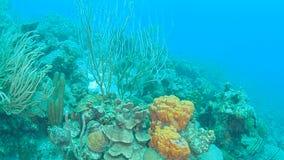 Vídeo 1080P de mergulho subaquático da ilha coral de Bonaire do mar das caraíbas da vida filme