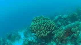 Vídeo 1080P de mergulho subaquático da ilha coral de Bonaire do mar das caraíbas da vida vídeos de arquivo
