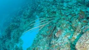 Vídeo 1080P de mergulho subaquático da ilha coral de Bonaire do mar das caraíbas da vida video estoque
