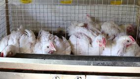 Vídeo pocos pollos que comen la alimentación combinada adentro la jaula en la granja almacen de video