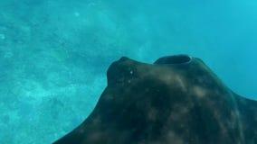 Vídeo subacuático con el manta de la natación Debajo del mar almacen de metraje de vídeo
