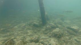 Vídeo subacuático del hábitat agradable del río El nadar cerca encima del cacho de los pescados de agua dulce almacen de metraje de vídeo