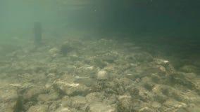 Vídeo subacuático del hábitat agradable del río El nadar cerca encima del cacho de los pescados de agua dulce almacen de video