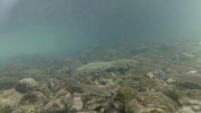 Vídeo subacuático del hábitat agradable del río El nadar cerca encima del cacho de los pescados de agua dulce Bohinj, Eslovenia almacen de metraje de vídeo