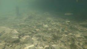 Vídeo subacuático del hábitat agradable del río El nadar cerca encima del cacho de los pescados de agua dulce Bohinj, Eslovenia almacen de video