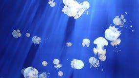 Vídeo subacuático 1080p de la medusa de las medusas metrajes