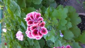 Vídeo vertical, flores reais do pelargonium Flor interna decorativa em um potenciômetro no fundo de plantas da rua filme