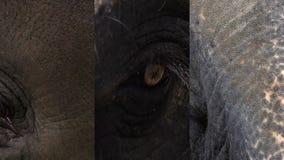 Vídeo vertical para los medios usos sociales en los dispositivos móviles Ojo del maximus del elephas del elefante asiático Ciérre almacen de metraje de vídeo