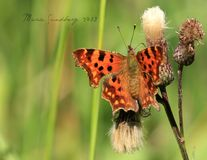 Vírgula da borboleta fotos de stock royalty free