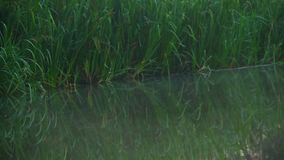 Vóór Dawn Mist hierboven - water, groen gras dichtbij bosrivier stock video