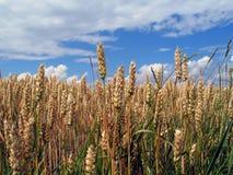Vóór oogst Stock Foto