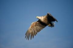 Vôo da águia Imagens de Stock Royalty Free