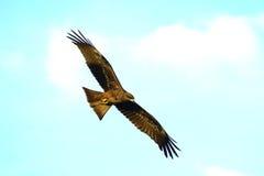Vôo da águia Imagem de Stock