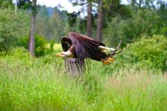 Vôo da águia calva imagens de stock