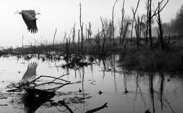 Vôo da águia no pantanal Imagens de Stock Royalty Free
