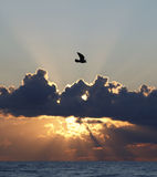 Vôo da ave marinho no por do sol Imagem de Stock Royalty Free