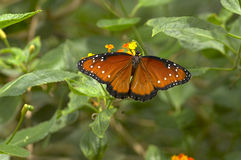 Vôo da borboleta de Tan fotografia de stock royalty free