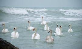 Vôo da cisne na água Fotografia de Stock Royalty Free