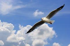 Vôo da gaivota Fotografia de Stock Royalty Free