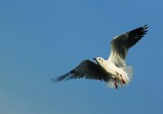 Vôo da gaivota Fotografia de Stock