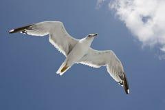 Vôo da gaivota Imagens de Stock Royalty Free