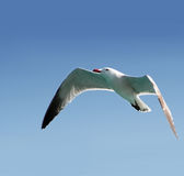 Vôo da gaivota Foto de Stock