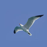 Vôo da gaivota Fotos de Stock Royalty Free