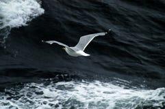 Vôo da gaivota acima das ondas de oceano Fotografia de Stock Royalty Free