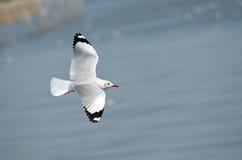 Vôo da gaivota no céu sozinho Fotografia de Stock Royalty Free