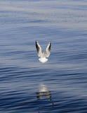 Vôo da gaivota sobre a água Fotografia de Stock Royalty Free