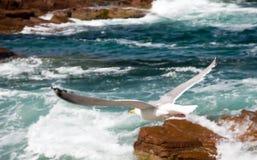 Vôo da gaivota sobre a ressaca Fotografia de Stock Royalty Free