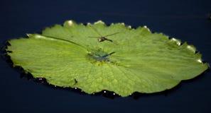 Vôo da libélula fotografia de stock