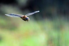 Vôo da libélula Imagem de Stock