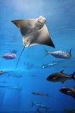 Vôo da raia de Manta em um enxame de outros peixes Fotos de Stock Royalty Free