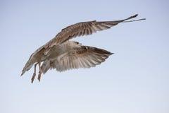 Vôo das gaivotas Fotos de Stock