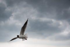 Vôo de cabeça negra da gaivota com as asas espalhadas com Imagens de Stock