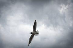 Vôo de cabeça negra da gaivota com as asas espalhadas com Imagem de Stock Royalty Free