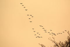 Vôo de patos selvagens Fotografia de Stock