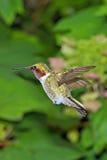 Vôo do colibri imagem de stock
