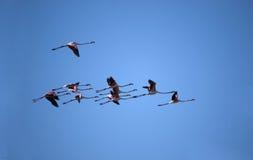 Vôo do flamingo fotos de stock royalty free