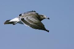 Vôo do pássaro Foto de Stock