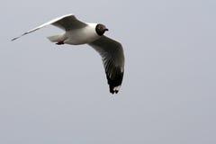 Vôo do pássaro da gaivota no céu azul Fotografia de Stock Royalty Free