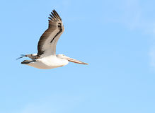 Vôo do pelicano Fotografia de Stock Royalty Free
